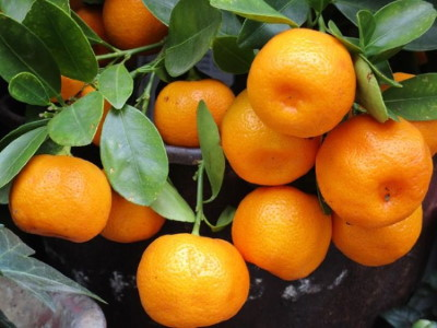 Mandarin c vitamin tartalom