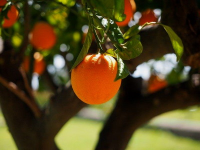 Narancs c vitamin tartalma